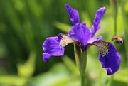 30th May 2018 - Bearded Iris (and Bee)