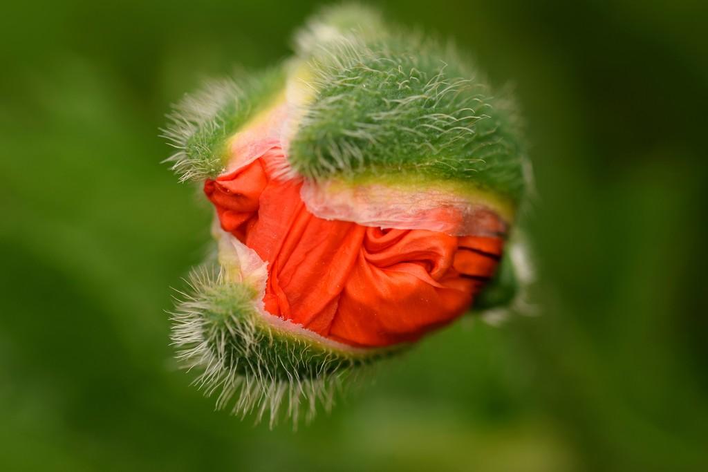 tomorrow's poppy by christophercox