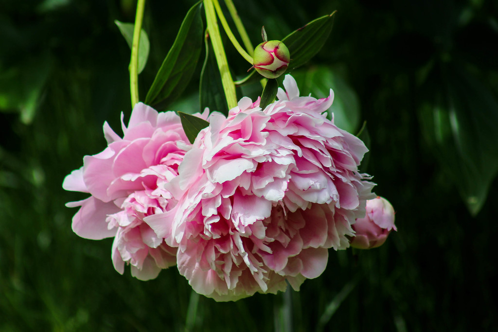 Peonies by mittens