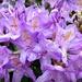 Rhododendron Flower by judithdeacon