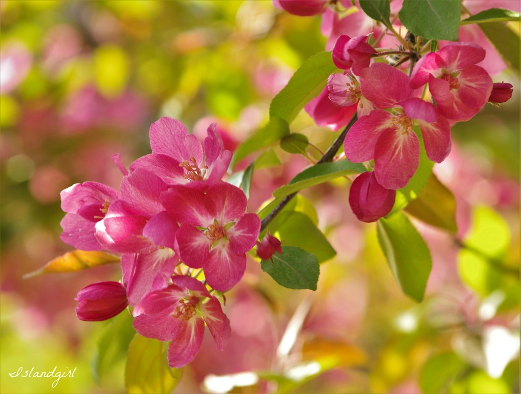 Crab Apple Tree  Blossoms  by radiogirl