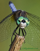 31st May 2018 - LHG_5153-Face of Blue Dasher