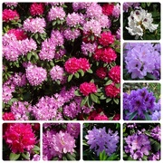1st Jun 2018 - rhododendrons