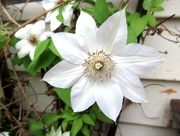 31st May 2018 - Clematis