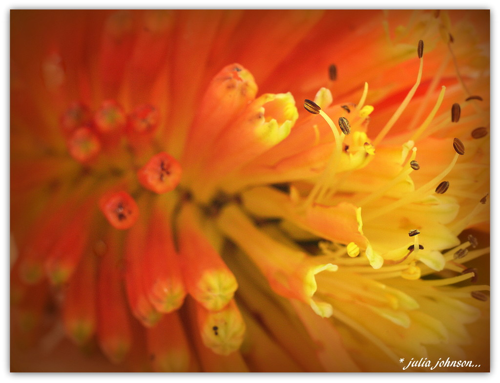 Red Hot Poker Macro.. by julzmaioro