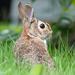 Neighborhood Bunny by seattlite
