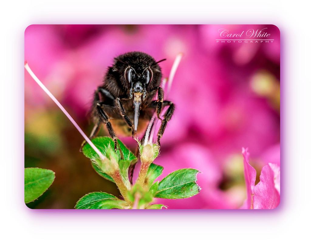 Large Bee by carolmw