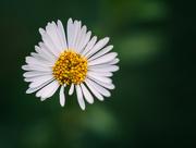 1st Jun 2018 - Little daisy