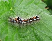 31st May 2018 - Yellow-tail moth caterpillar