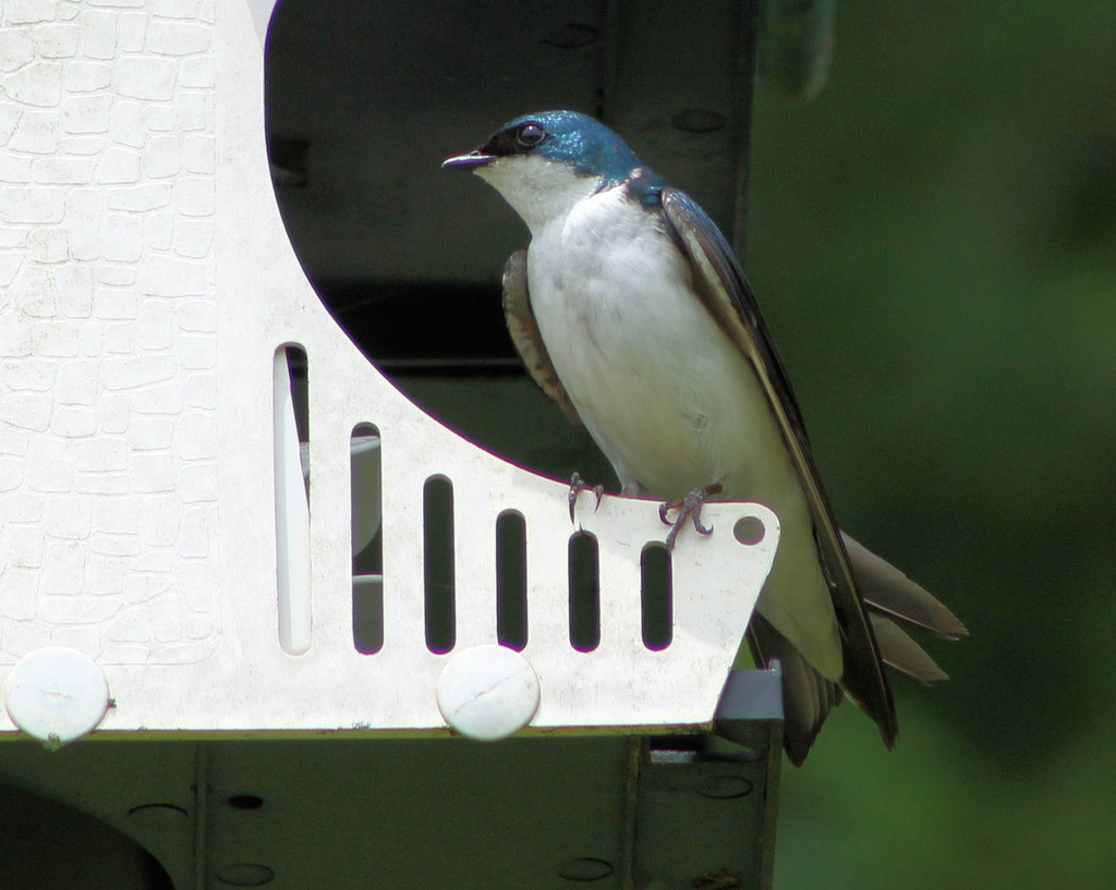 Tree Swallow by cjwhite