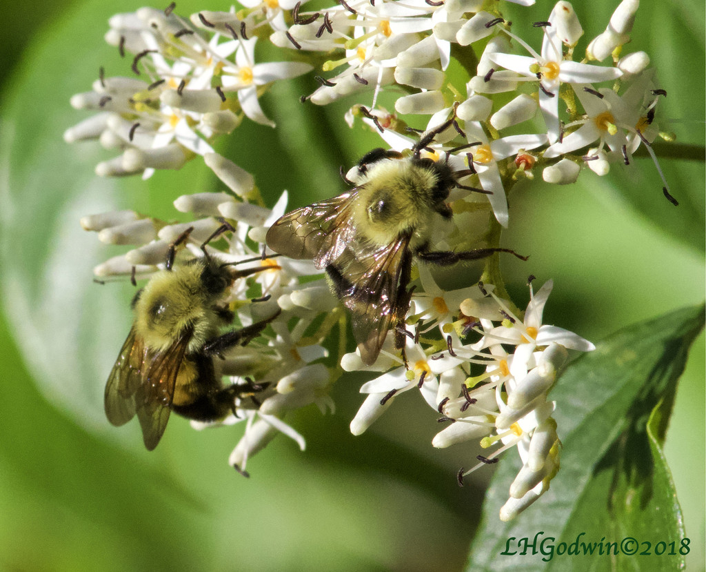 LHG_5135-Busy Bees by rontu