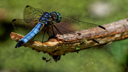 1st Jun 2018 - blue dragonfly wide