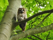 1st Jun 2018 - Tawny Owl