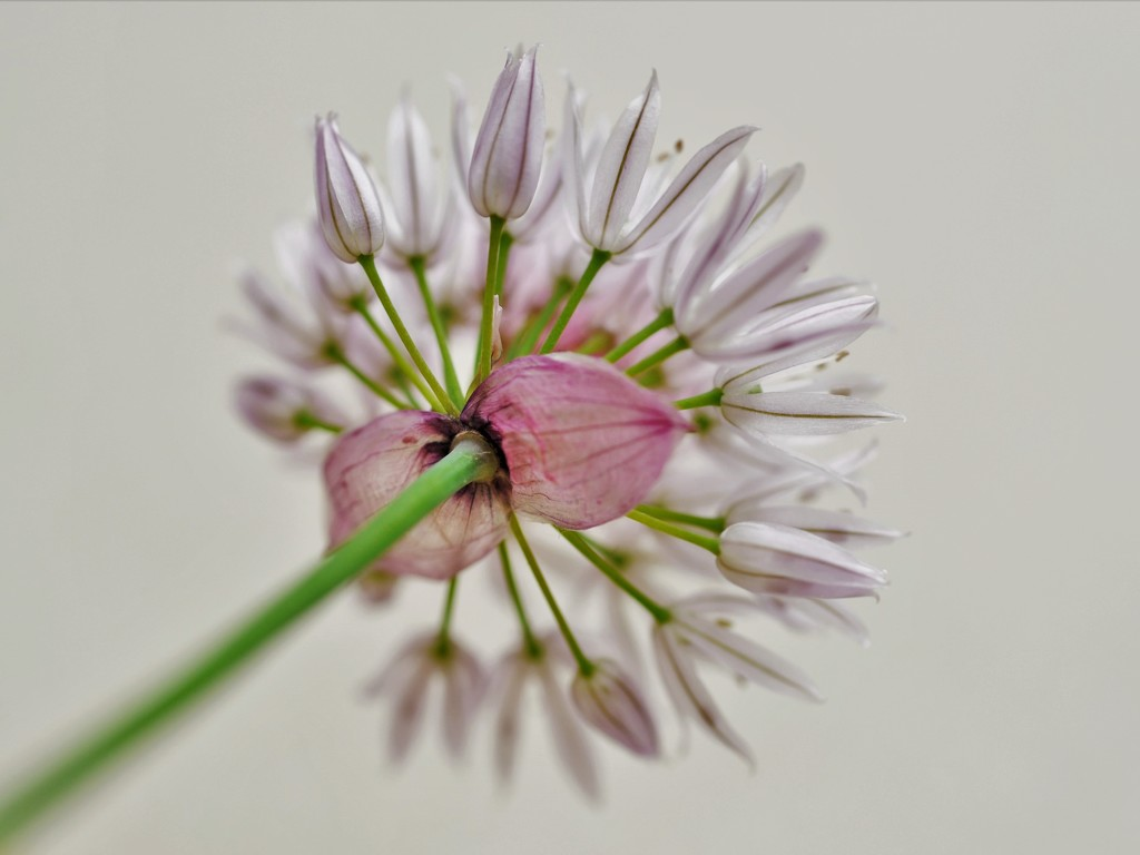 Chives by stimuloog