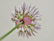 2nd Jun 2018 - Chives