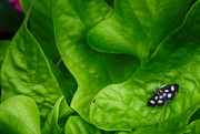1st Jun 2018 - Eight-Spotted Forester Moth