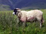 2nd Jun 2018 - Lake District Sheep