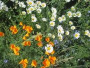 2nd Jun 2018 - Wayside Flowers