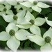 Kousa dogwood tree 2