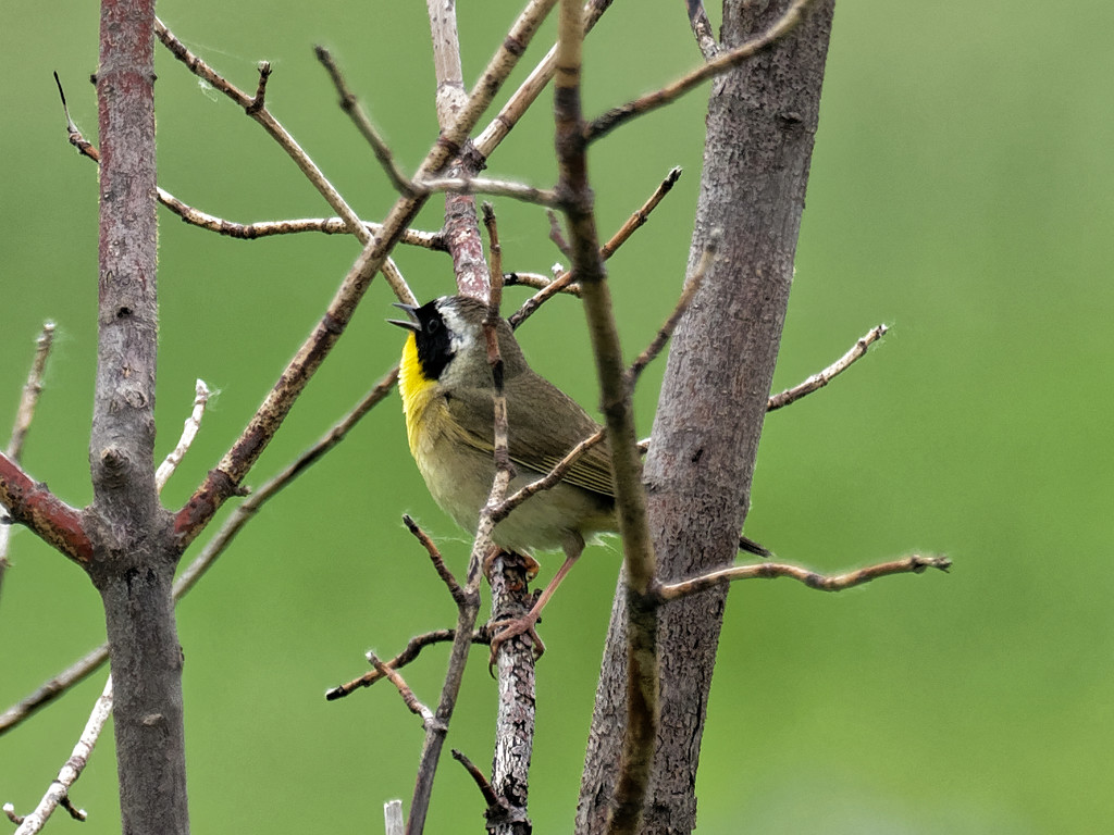 yellowthroat_DxO by rminer