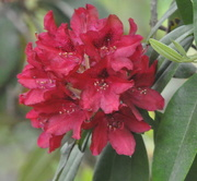 2nd Jun 2018 - The rhododendrons are blooming.........