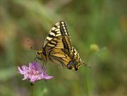 2nd Jun 2018 - The propitious butterfly