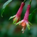Fuschia in the rain