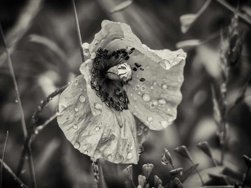 Poppy by haskar