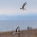 Little Tern-pair in flight