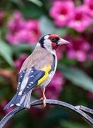 3rd Jun 2018 - Goldfinch