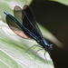 Damselfly spreads its wings