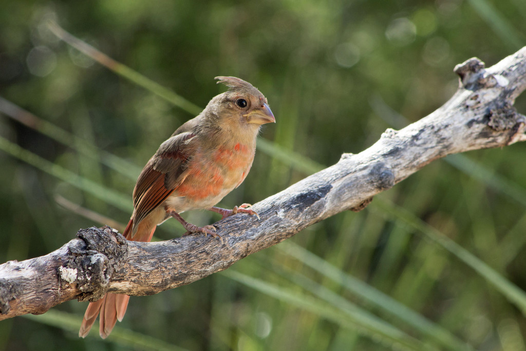 Young Male Cardinal by gaylewood