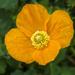 Poppy by tonygig