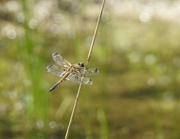 3rd Jun 2018 - Four spotted chaser