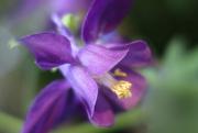 3rd Jun 2018 - Columbine Flower