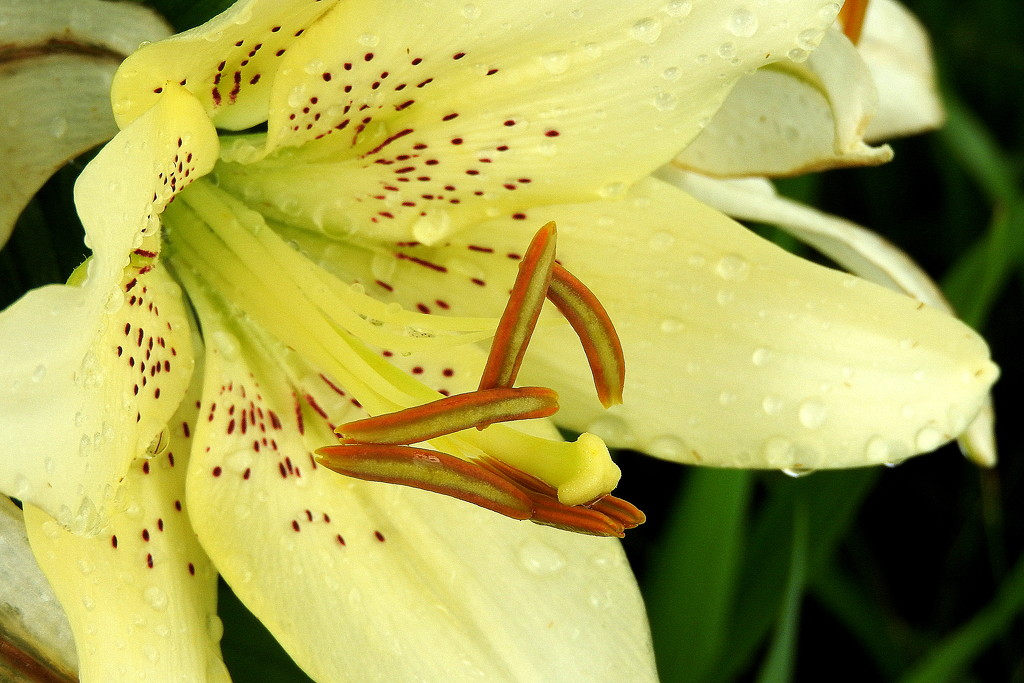 Lily and raindrops by homeschoolmom