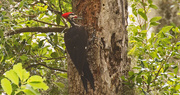 3rd Jun 2018 - Pileated Woodpecker Going to Town!