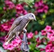 4th Jun 2018 - Young Starling