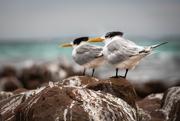 4th Jun 2018 - Terns