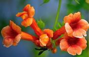 4th Jun 2018 - Trumpet or hummingbird vine