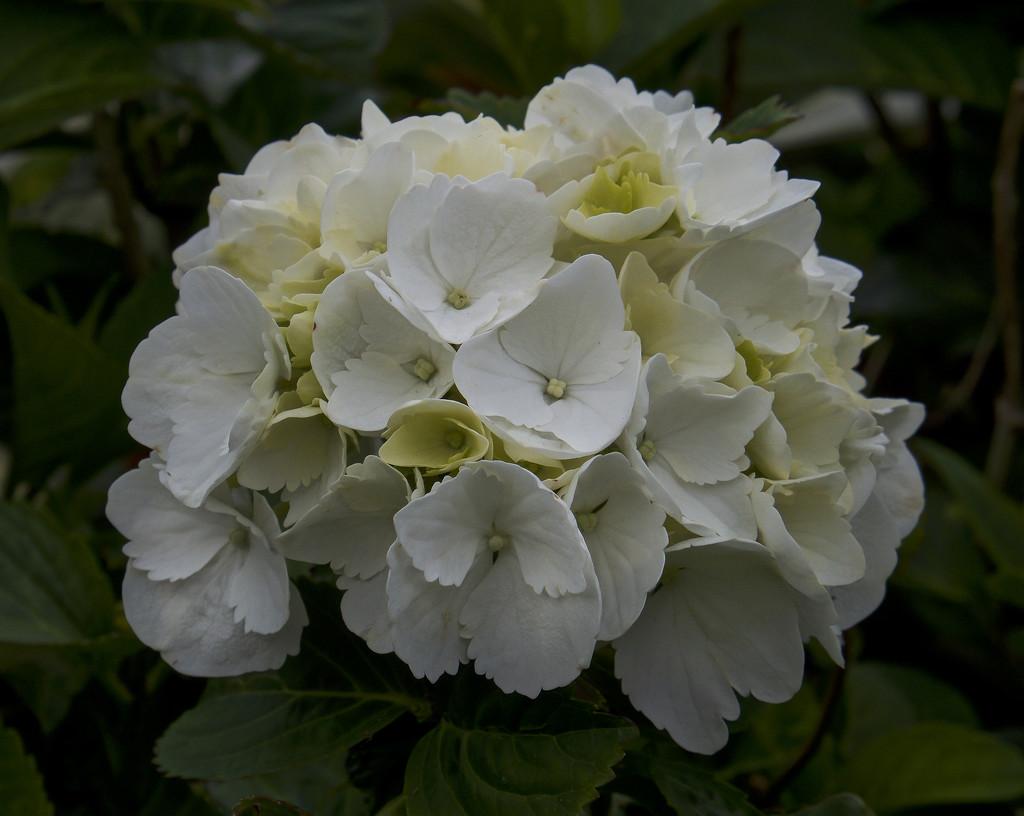 White Hydrangea by tonygig
