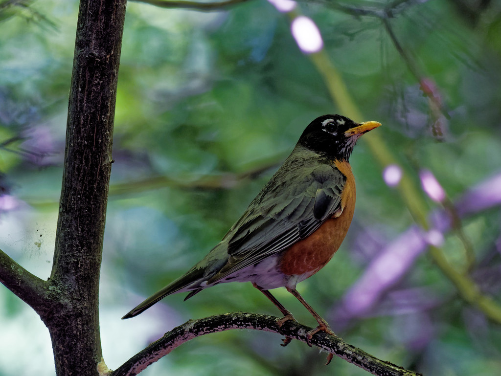 American Robin on a branch by rminer