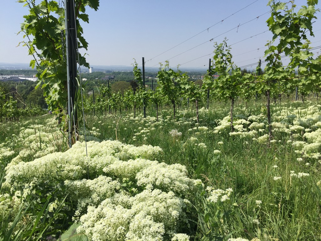 Flowers in the vineyard.  by cocobella