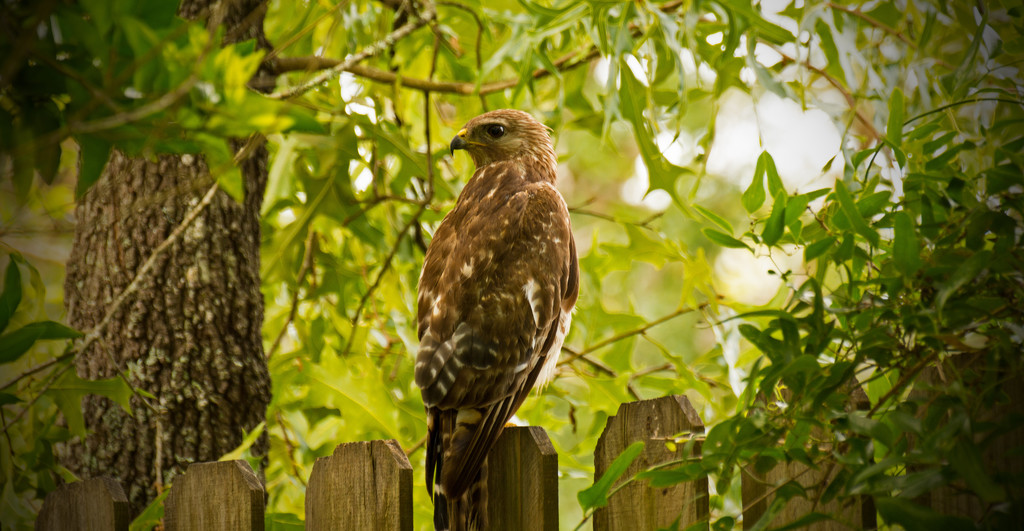 Red Shouldered Hawk Looking for Breakfast! by rickster549