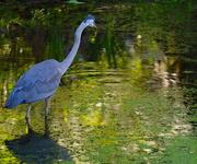 5th Jun 2018 - Great blue heron, Magnolia Gardens, Charleston, SC