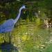 Great blue heron, Magnolia Gardens, Charleston, SC