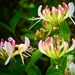 Honeysuckle by carole_sandford