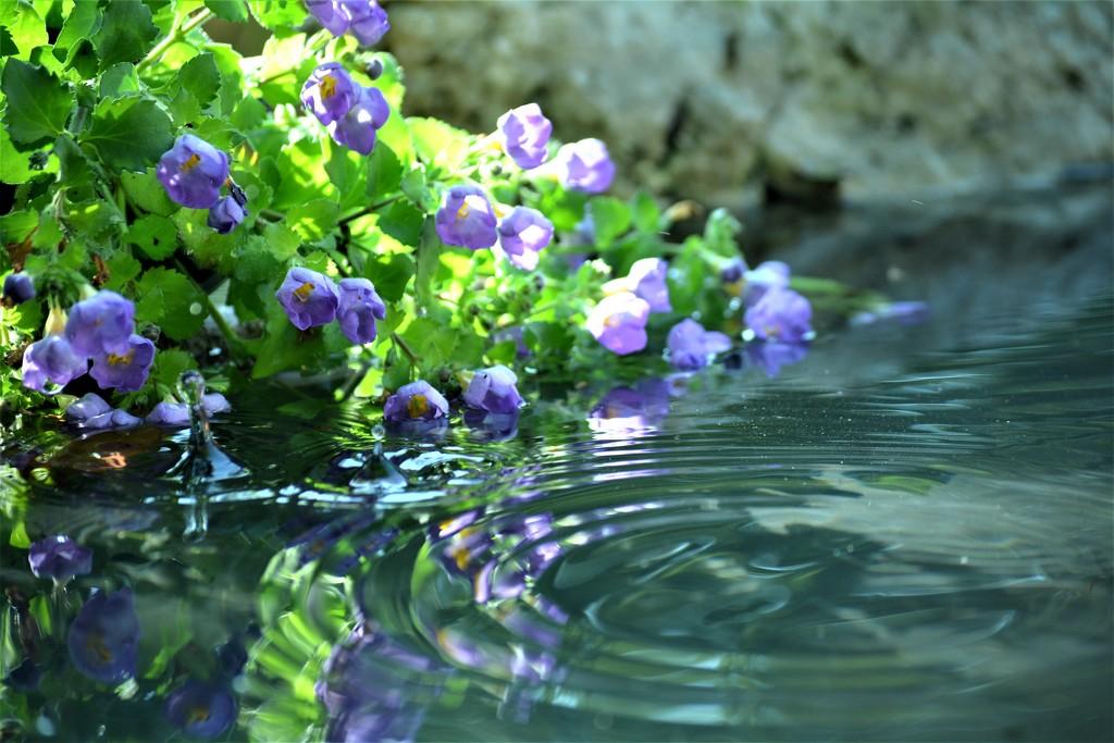 Bacopa Abunda Colossal Blue.... by ziggy77