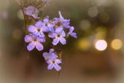 5th Jun 2018 - Duranta Flowers