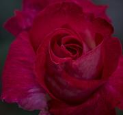 5th Jun 2018 -  Rose